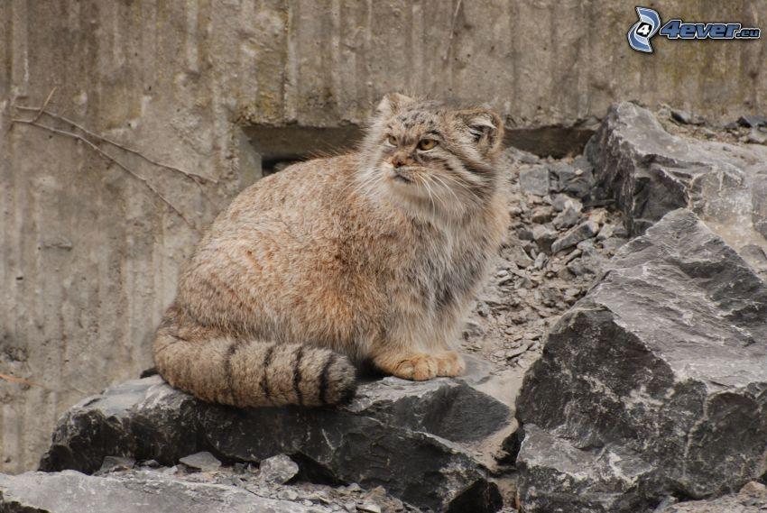 gatto peloso, rocce