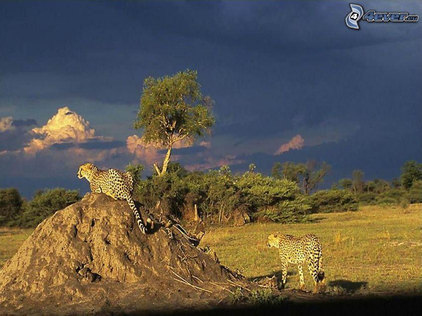 ghepardi, steppe