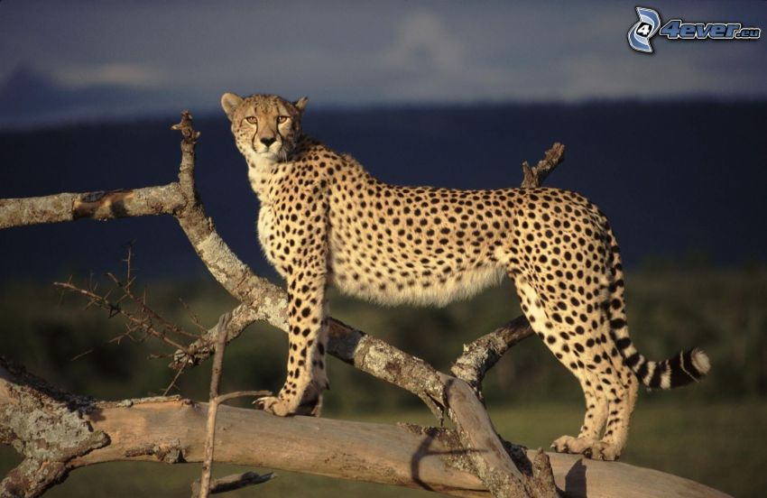 ghepardo, ceppo secco