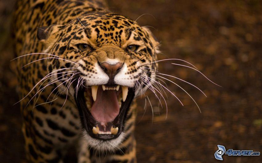 giaguaro, urlo