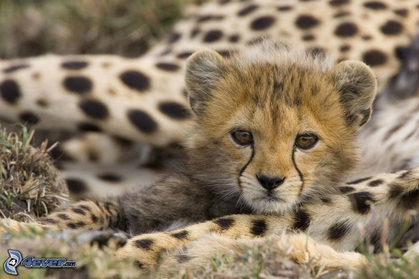 giovane di ghepardo