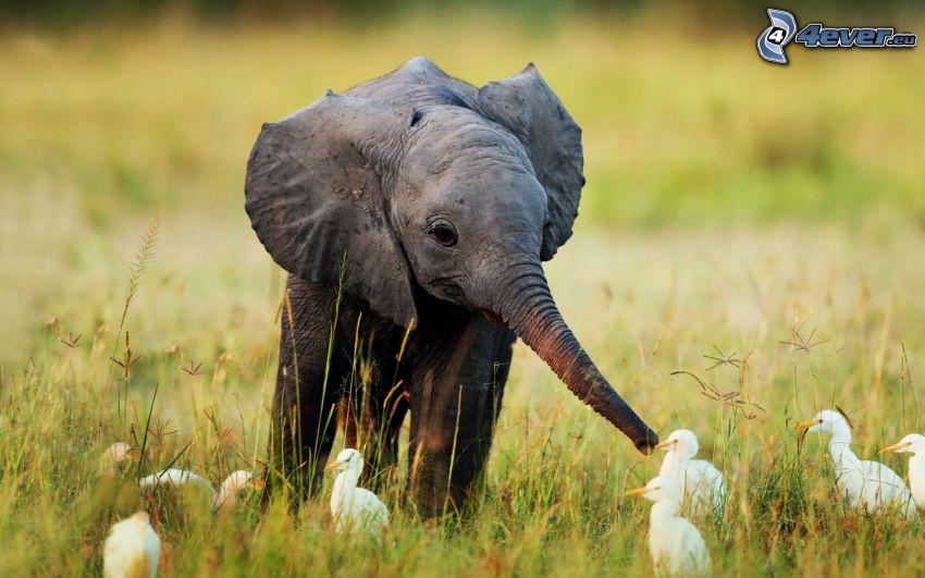 giovani elefanti, oche