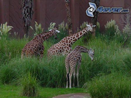 giraffe, animali, natura, libertà