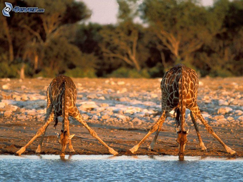 giraffe, il fiume, pietre