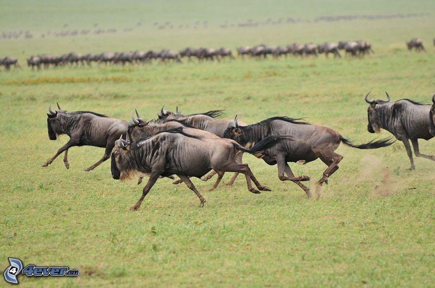 gnu, correre, branco di animali