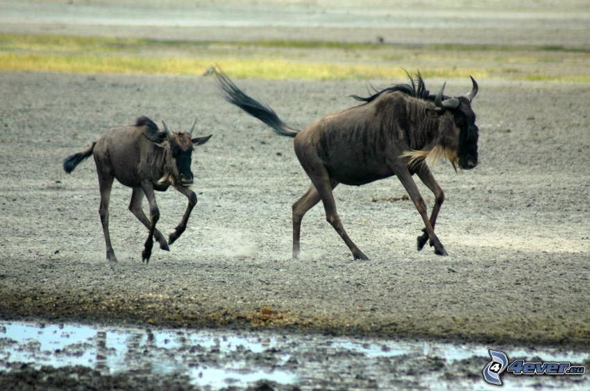 gnu, cucciolo, correre