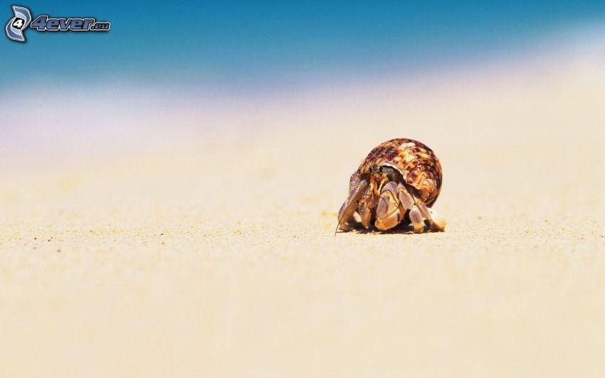 granchio, conchiglia, spiaggia sabbiosa