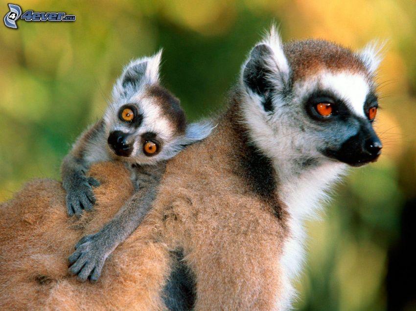 i lemuri, cucciolo