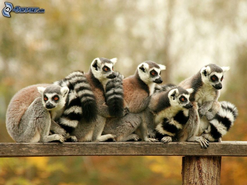 i lemuri, panchina