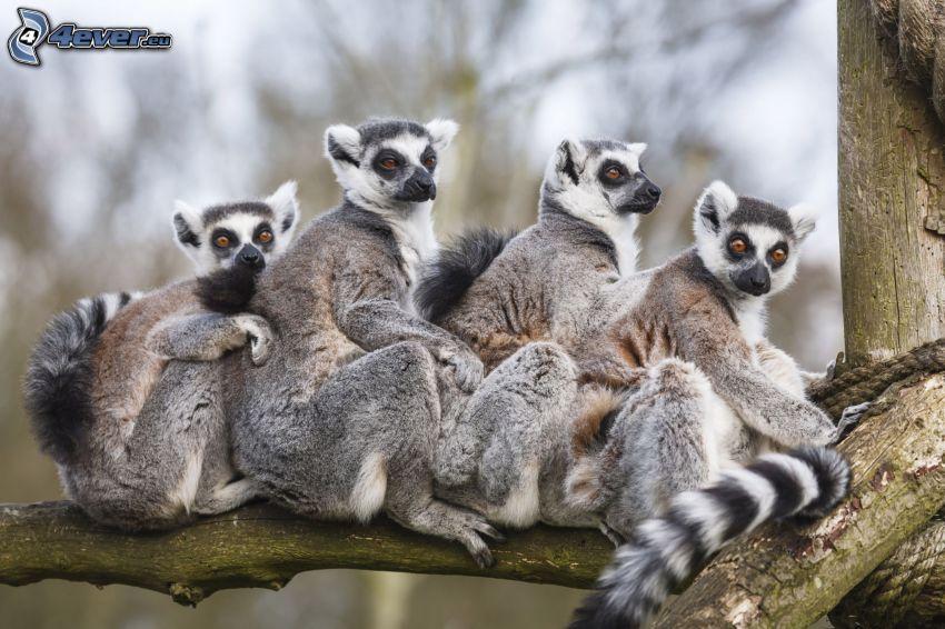 i lemuri, rami