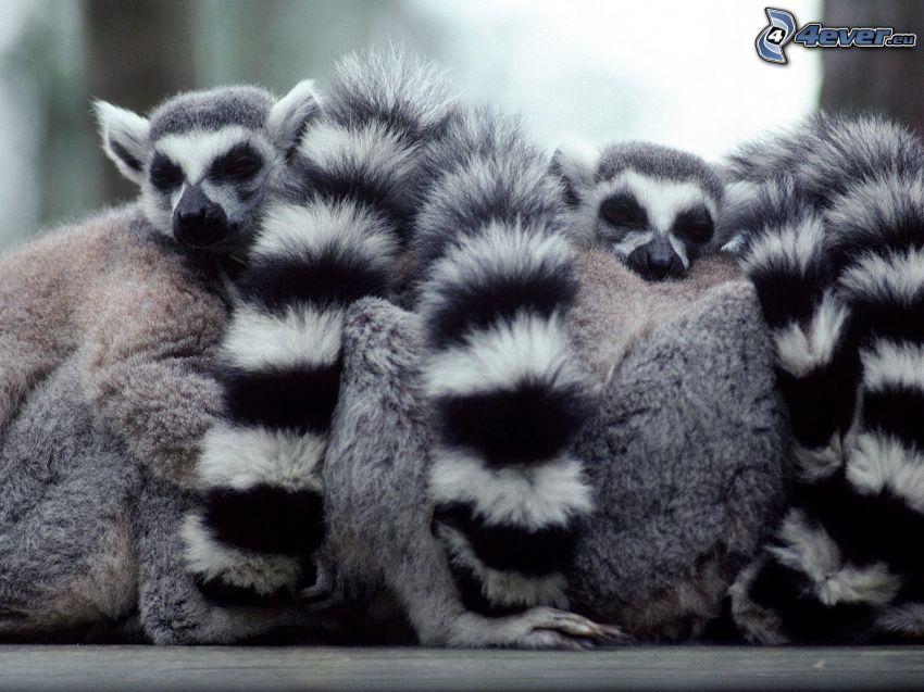 i lemuri, sonno