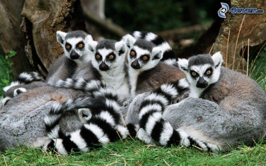 i lemuri