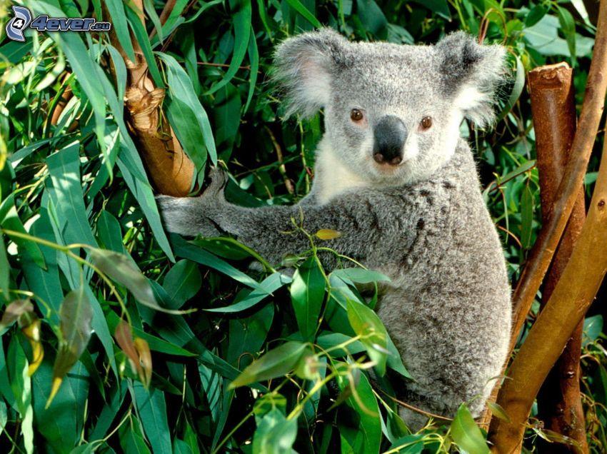 koala, eucalyptus, rami, foglie