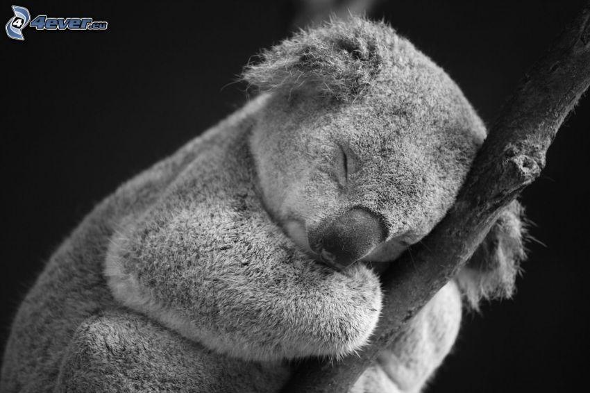 koala, sonno, ramoscello