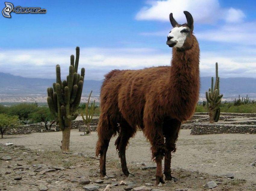 Lama, cactus