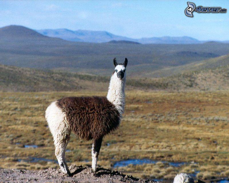 Lama, montagna
