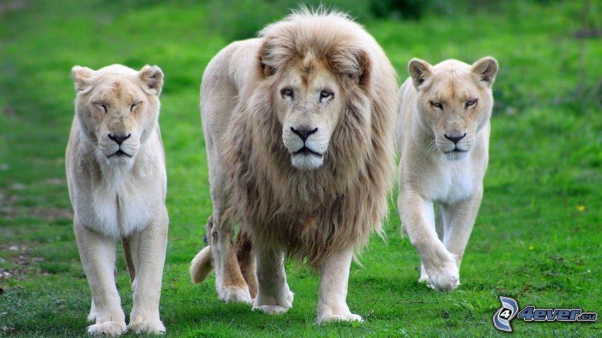leone, leoni
