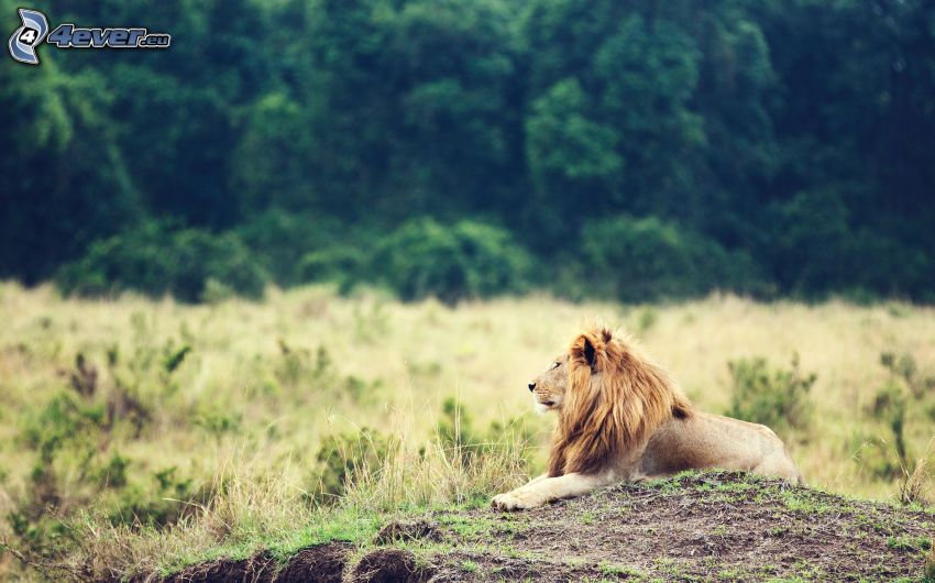 leone, savana, luogo selvaggio