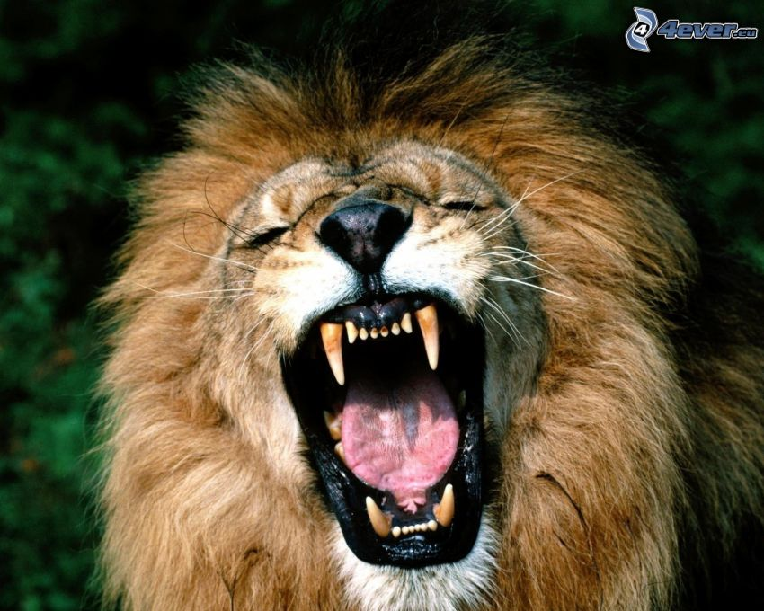 leone, urlo