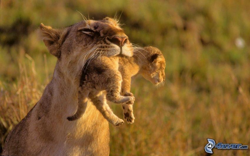 leonessa con cucciolo, piccolo leone, famiglia dei leoni