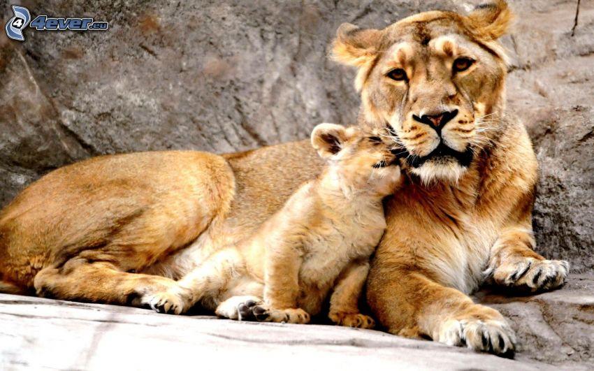 leonessa con cucciolo, piccolo leone
