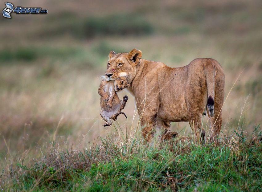 leonessa con cucciolo