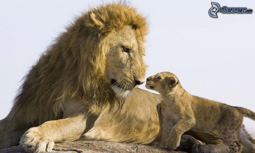 leoni, cucciolo, papà