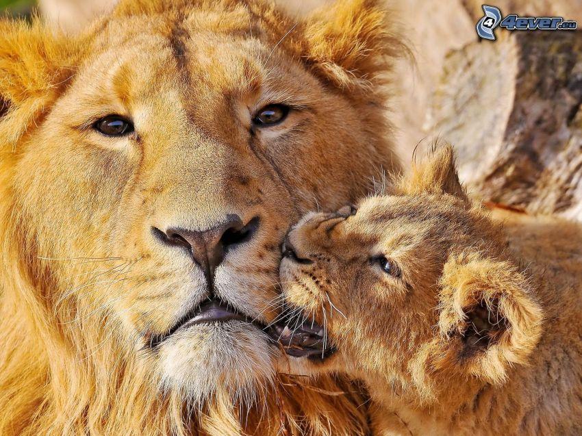 leoni, cucciolo