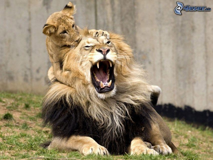 leoni, urlo
