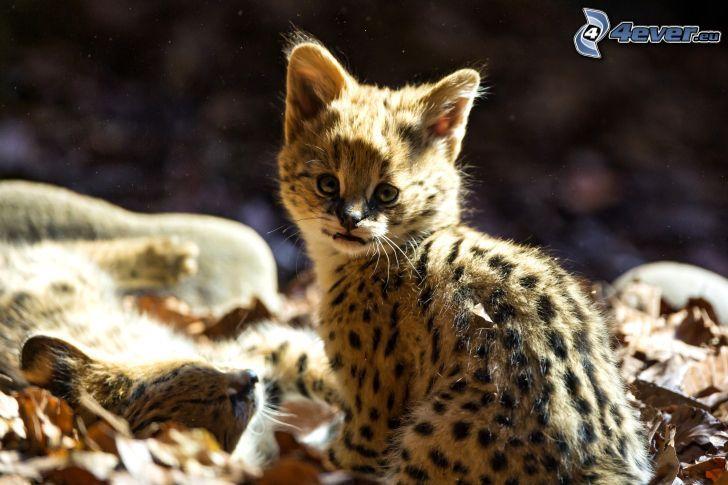 leopardo, cucciolo