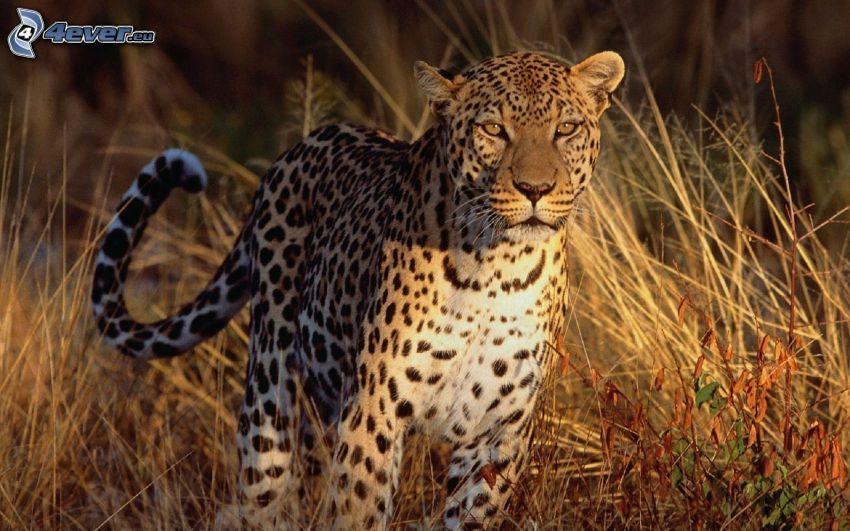 leopardo, erba alta