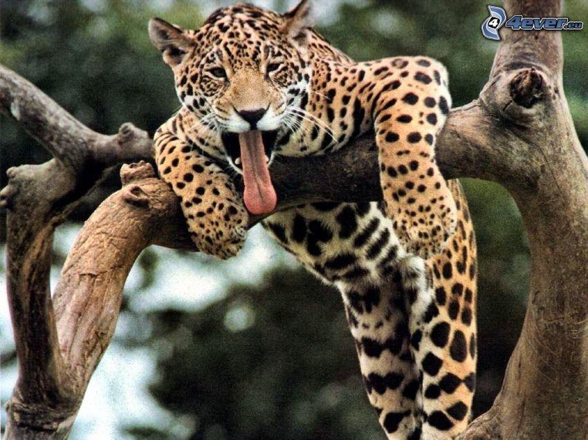 leopardo, sbadigliare, lingua