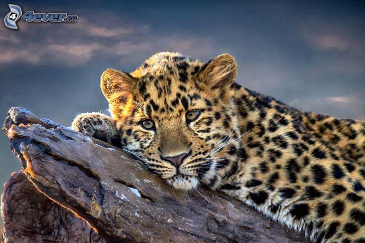 leopardo, tronco