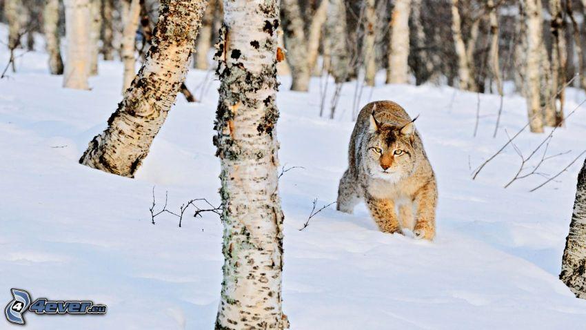 lince, bosco di betulle, neve
