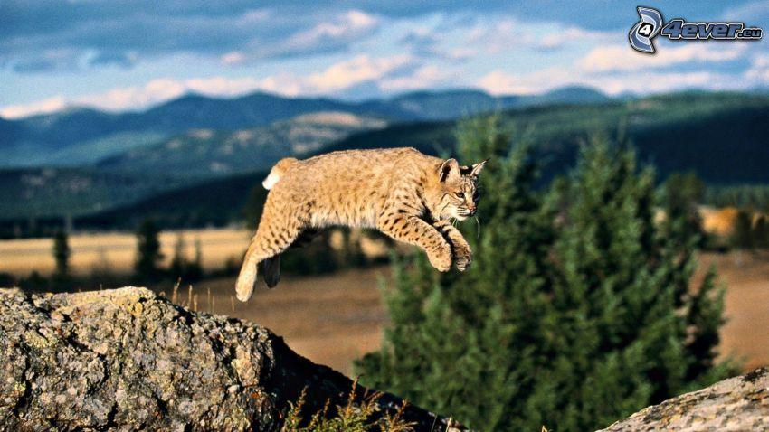lince, montagne, salto