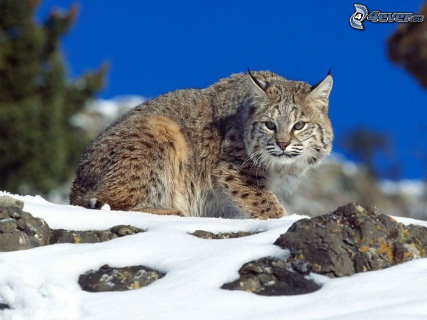 lince, rocce, neve