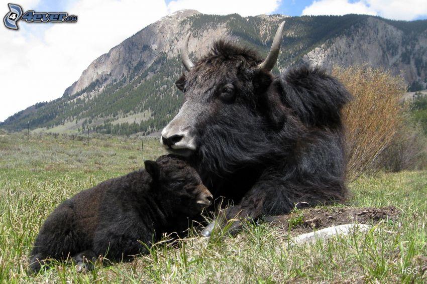 lo yak, collina rocciosa