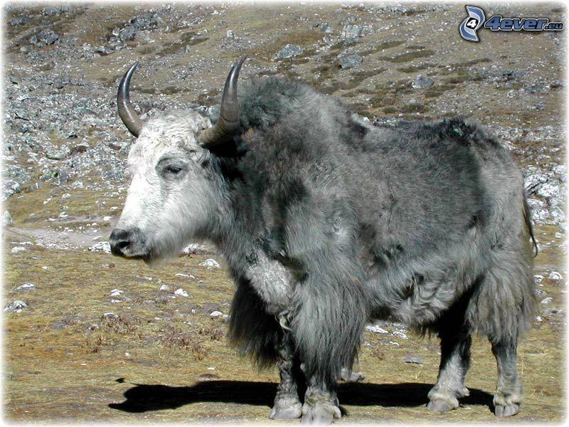 lo yak