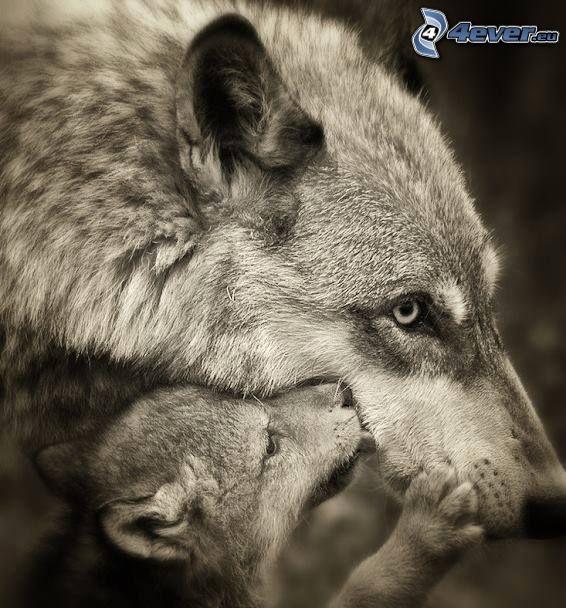 lupi, cucciolo