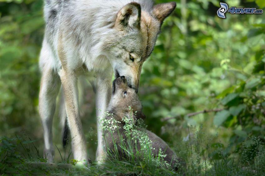 lupi, cucciolo di lupo