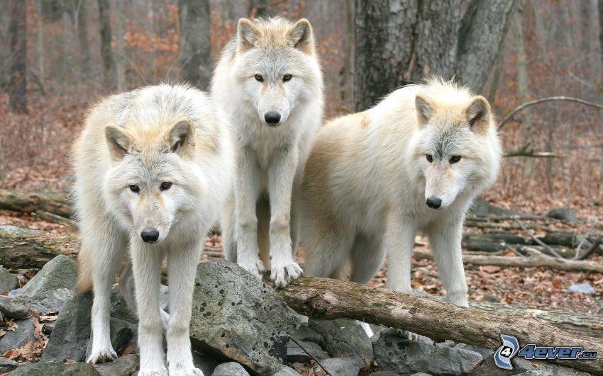 lupi bianchi, foresta
