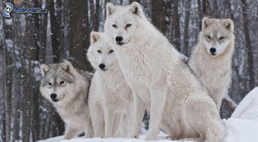 lupi bianchi, neve