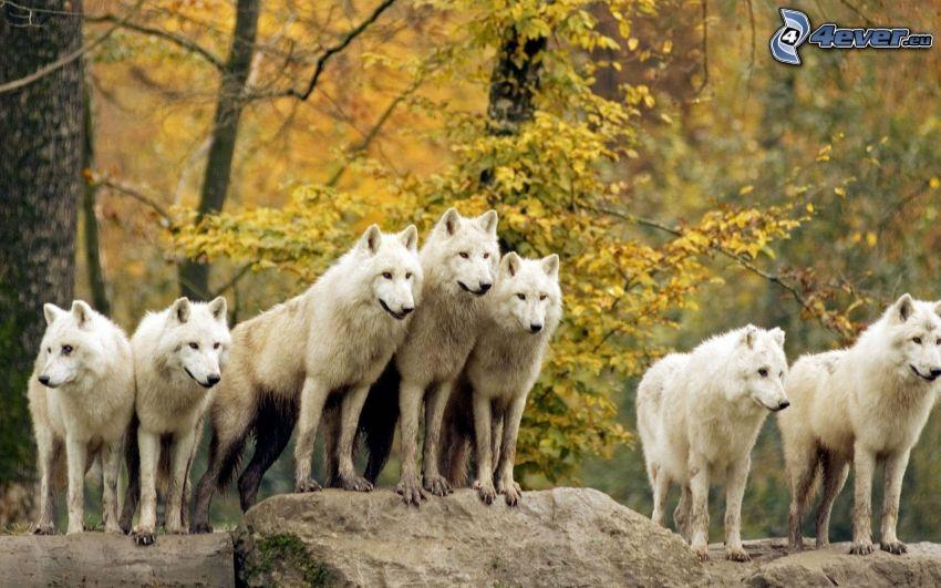 lupi bianchi, roccia, albero autunnale