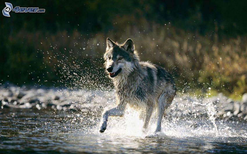 lupo, acqua