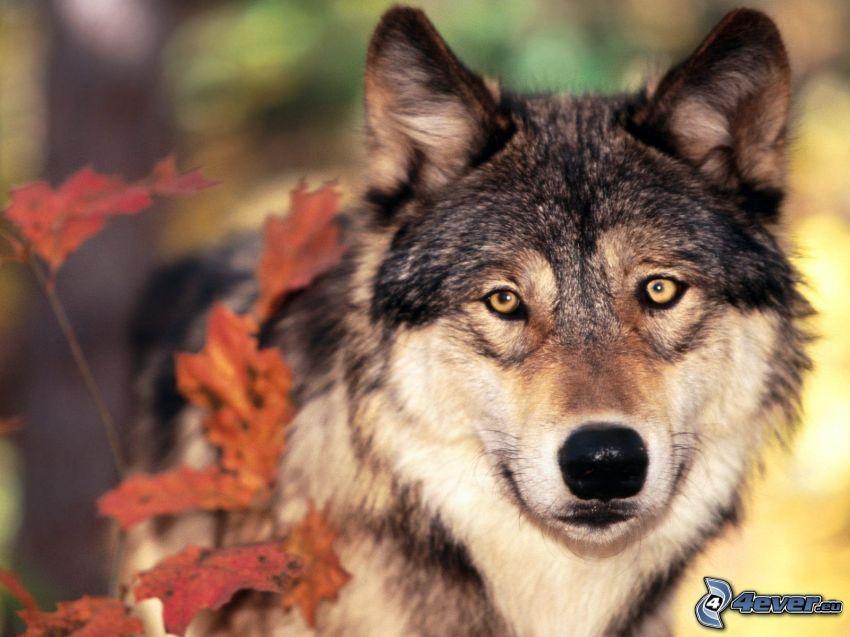 lupo, foglie rosse
