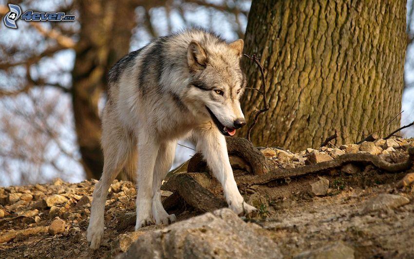 lupo, pietre, tronco