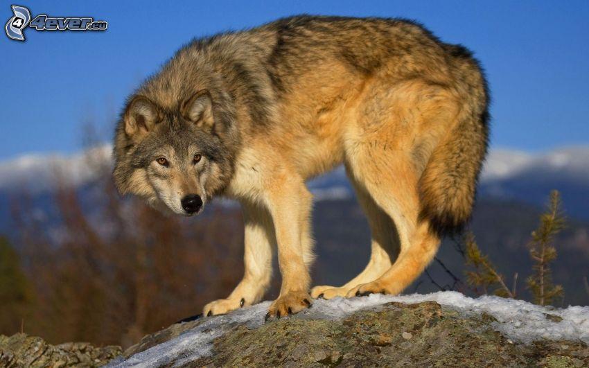 lupo, roccia, neve