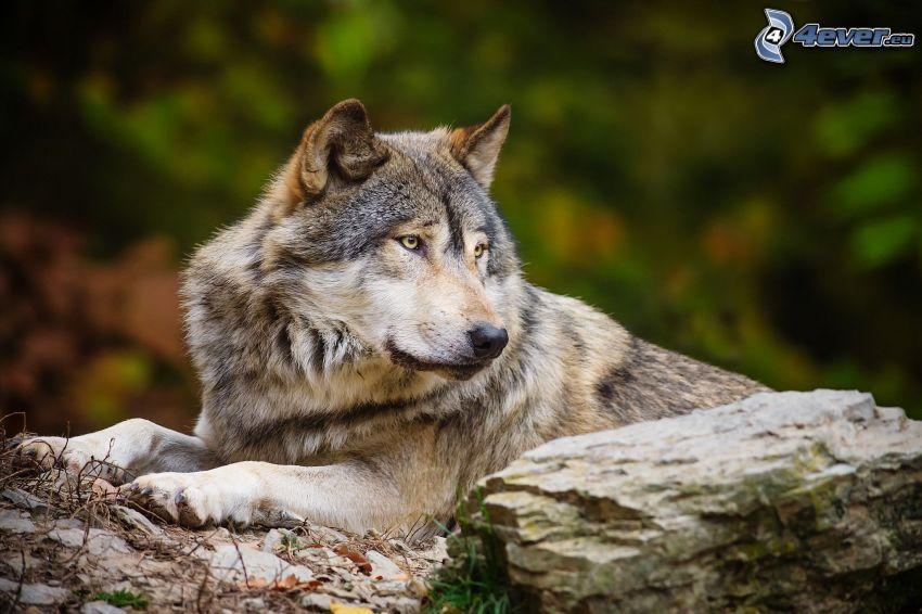 lupo, roccia