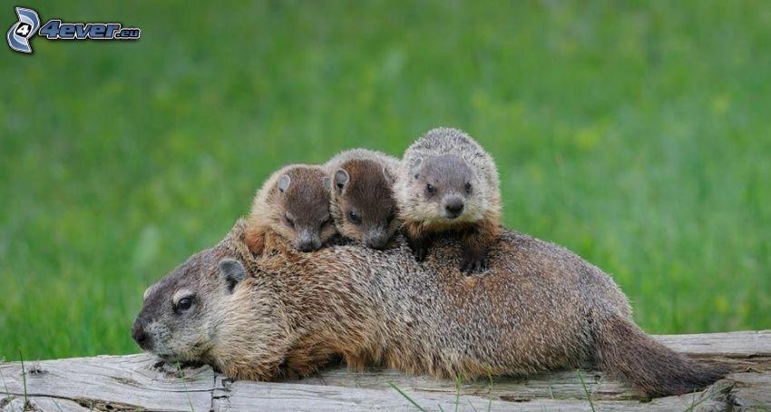 marmotte, famiglia, cuccioli