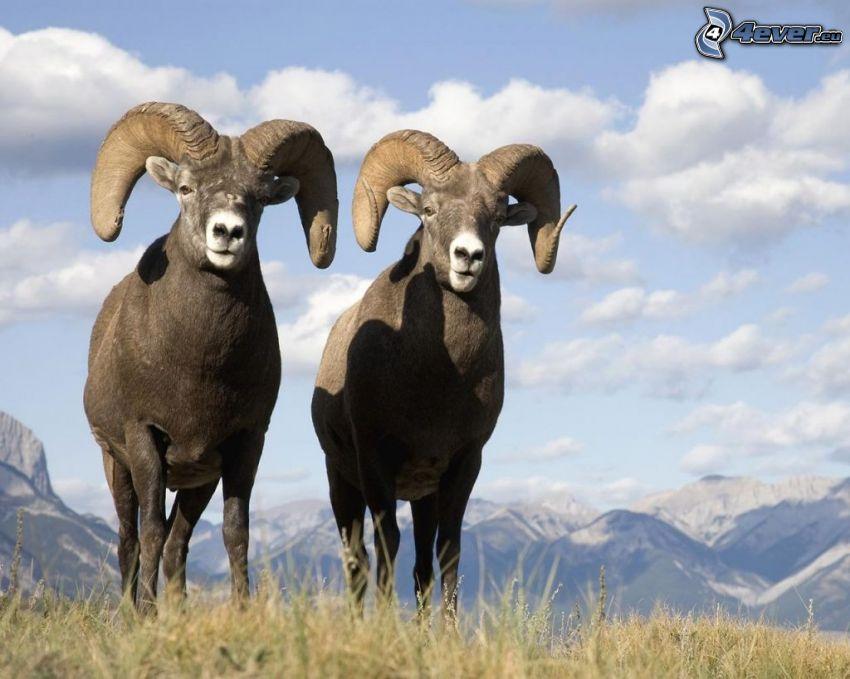 mufloni, montagne innevate